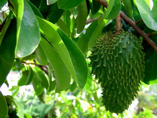 The strange-looking tropical fruit graviola is a POWERFUL superfood against cancer