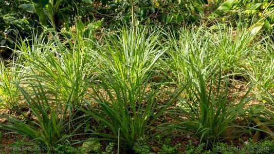 Researchers find three herbal plants work better than antibiotics for treating tuberculosis