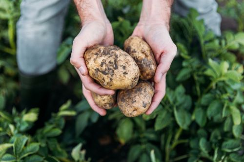 Study advances understanding of prebiotic resistant potato starch for personalized nutrition