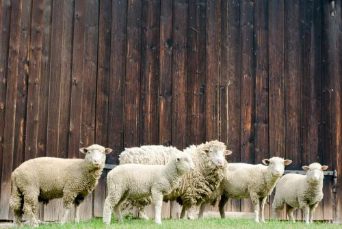 Connecticut solar developers want to use sheep to cut grass on their solar farms