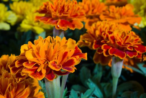 Study shows Mexican marigold can be used as a natural herbicide