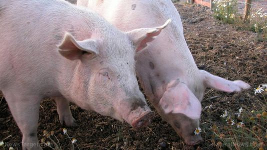 Balance is key: Farmers must maintain soil health to successfully grow both free-range pigs and energy crops