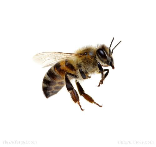 Trained bees successfully locate landmines in Croatia