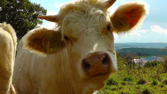 Did you know? Cows are the ultimate food recyclers and can help curb herbicide use