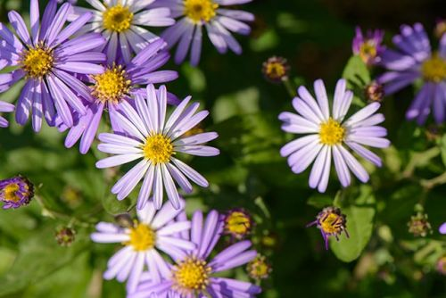 Protect your eye health with Korean starwort especially if you're diabetic