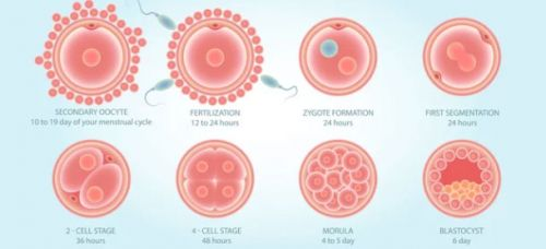 Different Stages Involved in the Process of Fertilization