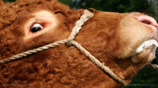 """Experimental Covid-19 """"vaccines"""" could cause mad cow disease, experts warn"""