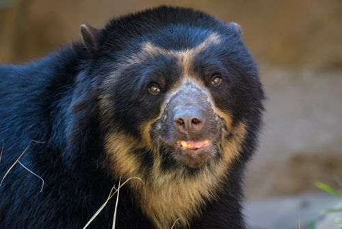 Water cooler talk - Andean bears use water sources not only to drink, but also communicate with others