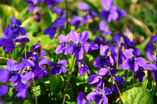 Could Manchurian violets be used to treat atherosclerosis and hepatic steatosis?