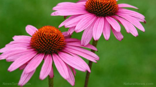 Take echinacea at the first signs of the flu