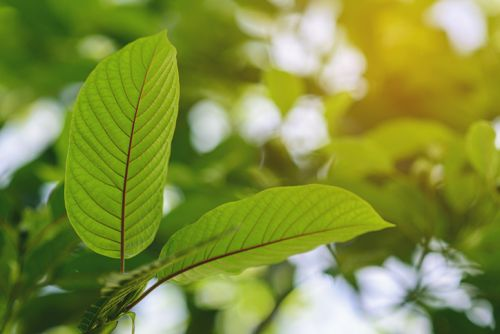 Study using DILIN data reveals kratom's liver injury potential