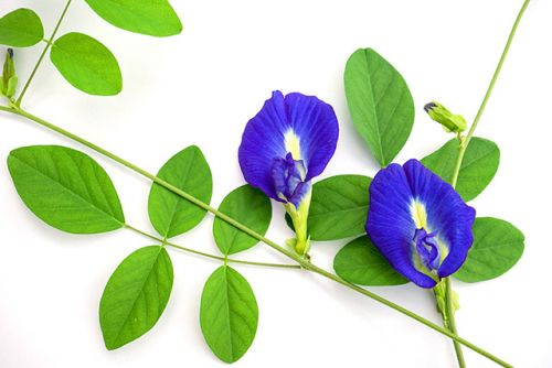 Science: Extract of the blue pea flower can keep your blood sugar levels stable after meals