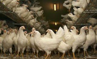 California's backyard poultry flocks falling dead from highly contagious virus