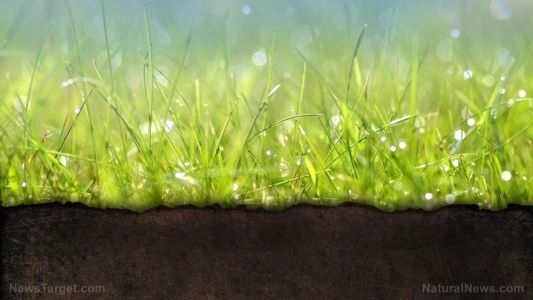 An Asian grass can be the key to removing lead from contaminated soil