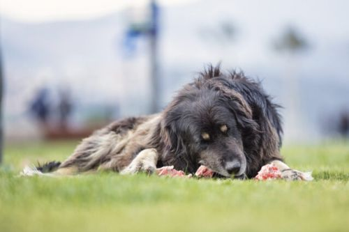 Raw Food Diet for Dogs: a Primal Feeding Practice