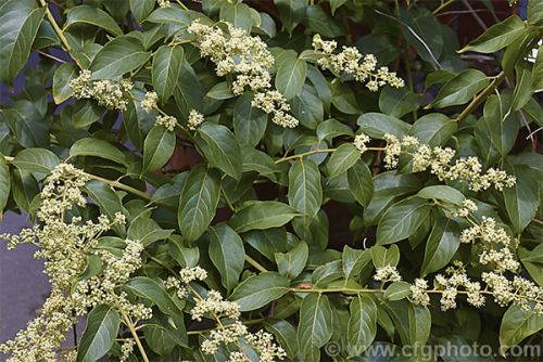 TCM's thunder god vine is packed with unique health benefits, just don't go overboard