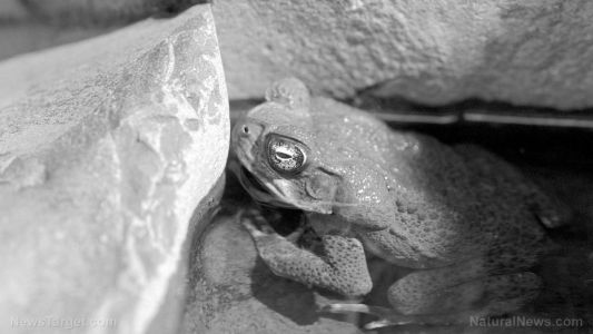 This killer flesh-eating fungus has wiped out 90 amphibian species and scientists say it isn't done