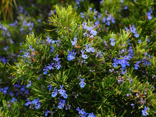 Rosemary oil scientifically documented as a natural medicine treatment for stress