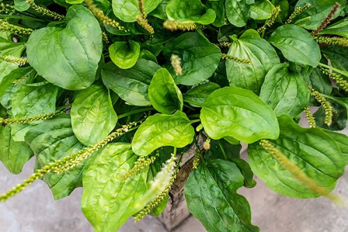 Can a plantain from Asia keep liver disease at bay?