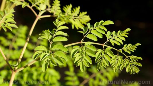 Extract from moringa trees found to prevent cataract formation