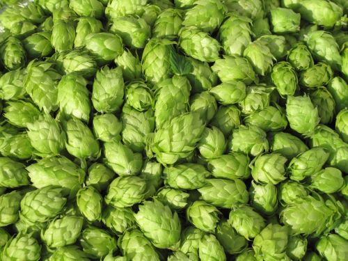 Hop extracts may boost cognition and mood in health older people: Kirin study